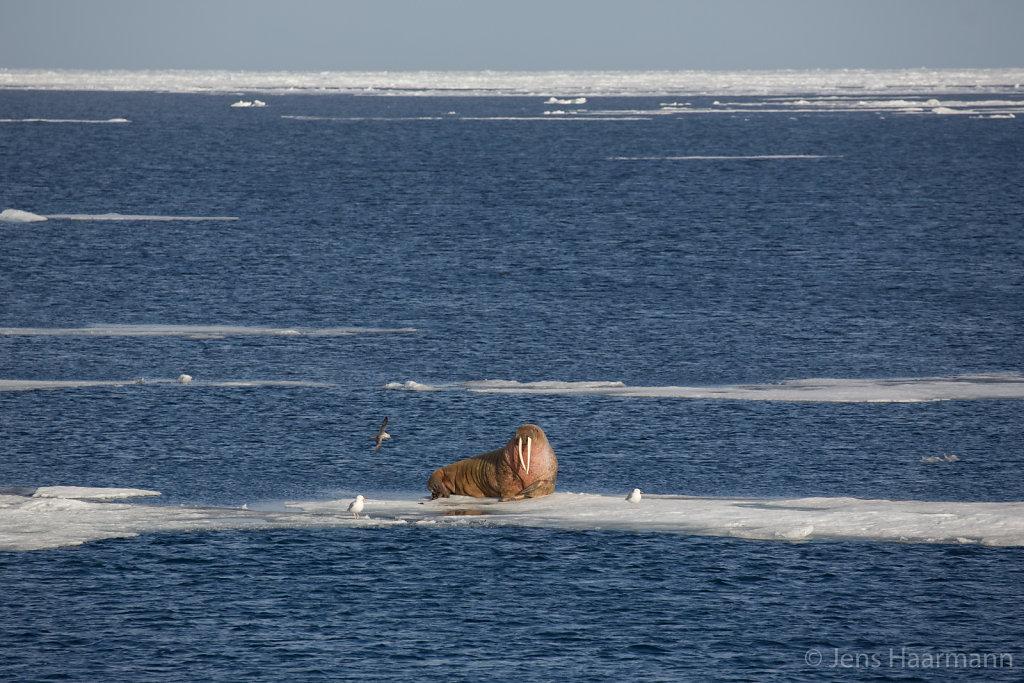 Walross nördlich von Spitzbergen