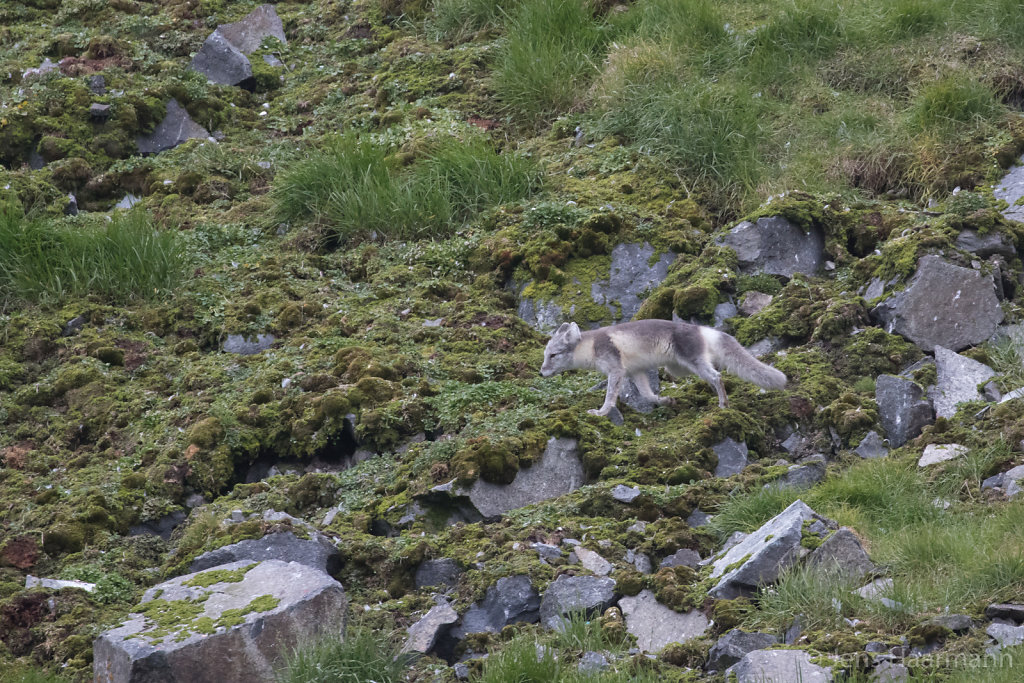 Polarfuchs am Alkefjellet