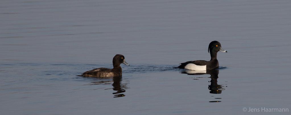 Reiherente (links Weibchen, rechts Männchen)