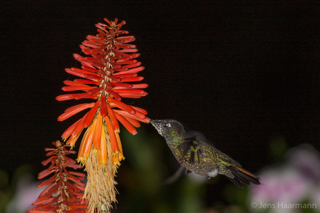 Fackellilie mit Kolibri