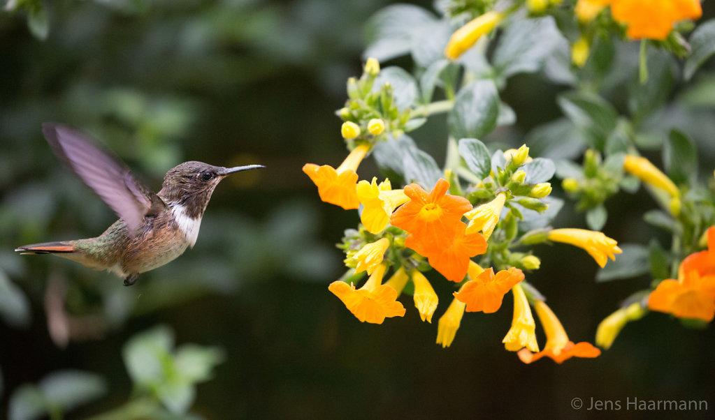 Kolibri - Vulkanelfe